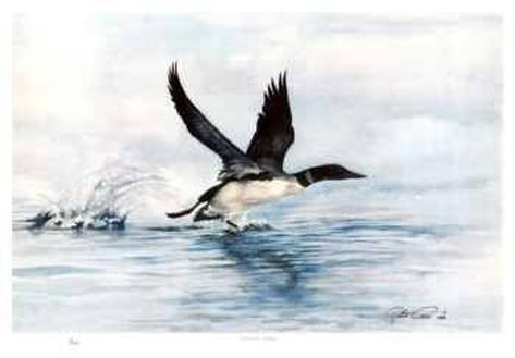 Common Loon Collectable Print