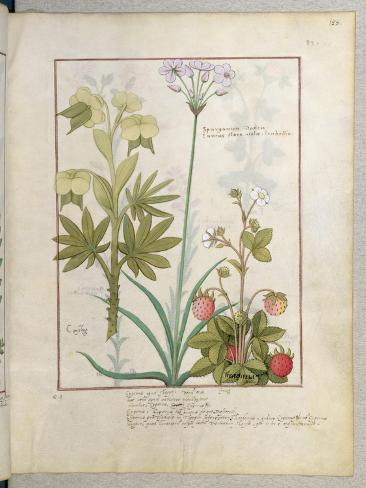 Consiligo, Burreed and Strawberry, The Book of Simple Medicines, Platearius Giclee Print
