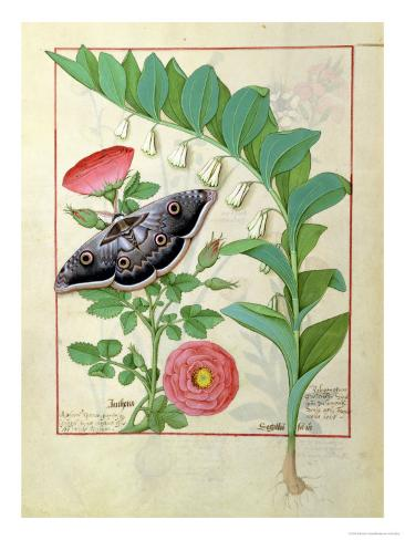Rose and Polygonatum Illustration from The Book of Simple Medicines by Mattheaus Platearius c. 1470 Giclee Print