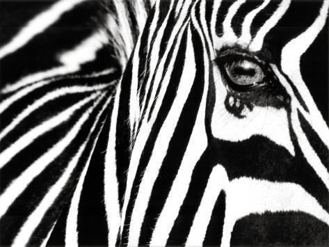 Black & White II (Zebra) Stampa artistica
