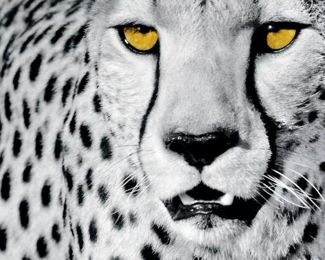 White Cheetah Framed Art Print