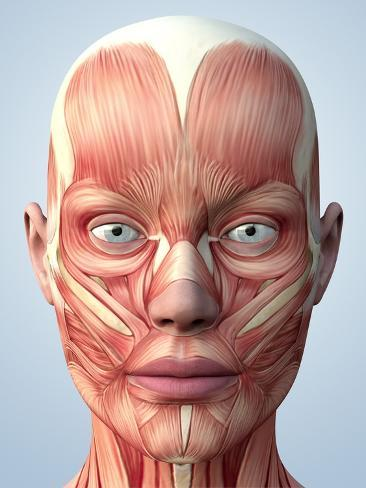 Muscular System of the Head Photographic Print