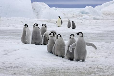 Emperor Penguin Aptenodytes Forsteri Group Of Chicks