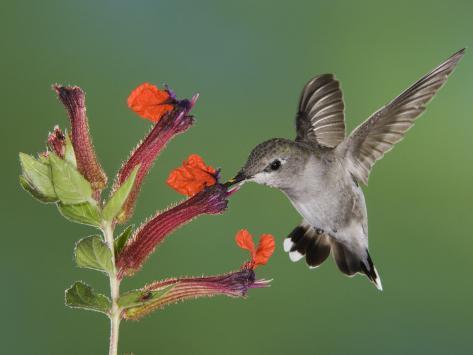 Anna's Hummingbird Female in Flight Feeding on Flower, Tuscon, Arizona, USA Photographic Print