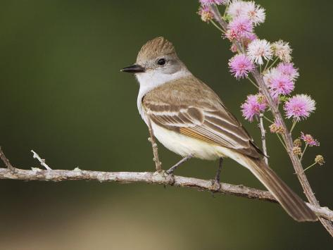 Ash-Throated Flycatcher, Uvalde County, Hill Country, Texas, USA Photographic Print