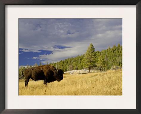 Bison (Bison Bison) Yellowstone National Park, Wyoming, USA Framed Art Print