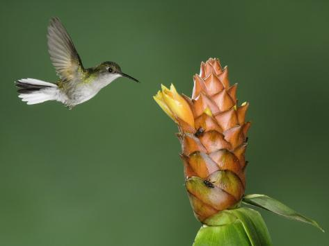 Black-Bellied Hummingbird, Central Valley, Costa Rica Photographic Print