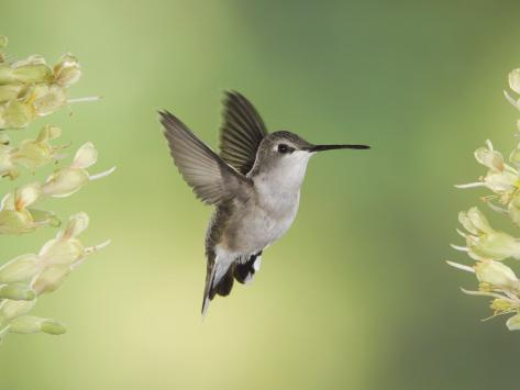 Black-Chinned Hummingbird in Flight Feeding on Texas Buckeye, Uvalde County, Hill Country Photographic Print
