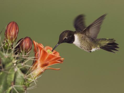 Black-Chinned Hummingbird, Uvalde County, Hill Country, Texas, USA Photographic Print