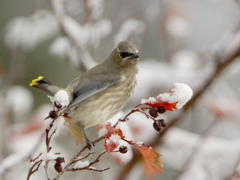 Cedar Waxwing, Young on Hawthorn with Snow, Grand Teton National Park, Wyoming, USA Photographic Print