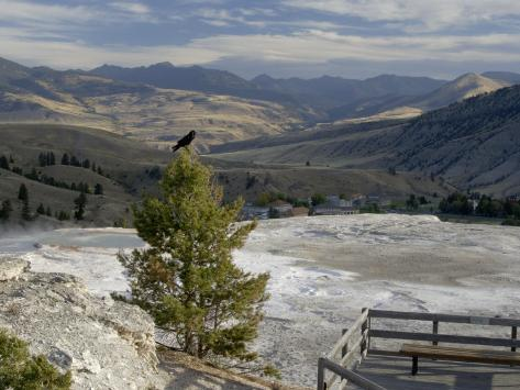 Common Raven, Mammoth Hot Springs, Yellowstone National Park, Wyoming, USA Photographic Print