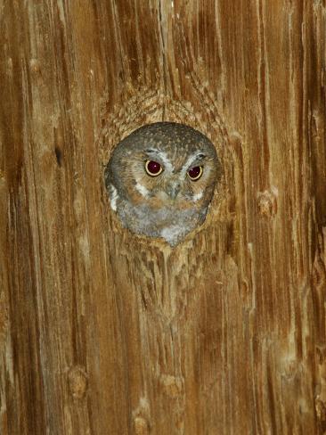 Elf Owl in Nest Hole, Madera Canyon, Arizona, USA Photographic Print