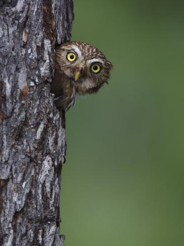 Ferruginous Pygmy Owl Adult Peering Out of Nest Hole, Rio Grande Valley, Texas, USA Photographic Print
