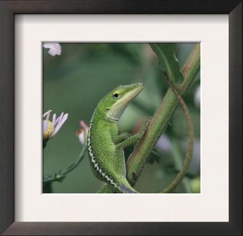Green Anole, Juvenile, Texas, USA Framed Art Print