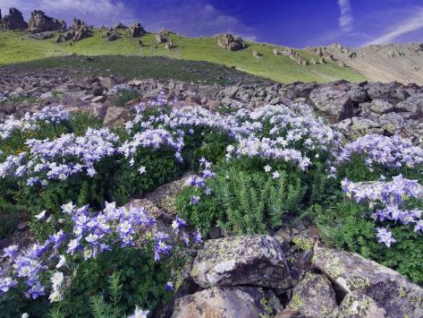 Mountains and Wildflowers, Ouray, San Juan Mountains, Rocky Mountains, Colorado, USA Photographic Print
