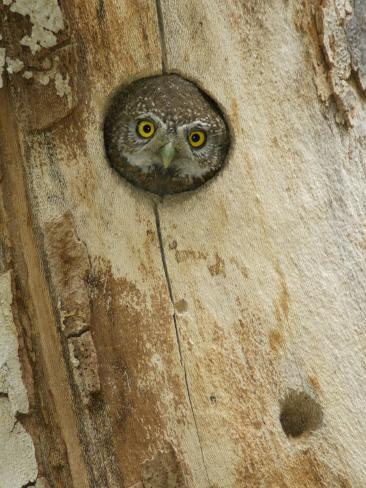 Northern Pygmy Owl, Adult Looking out of Nest Hole in Sycamore Tree, Arizona, USA Photographic Print