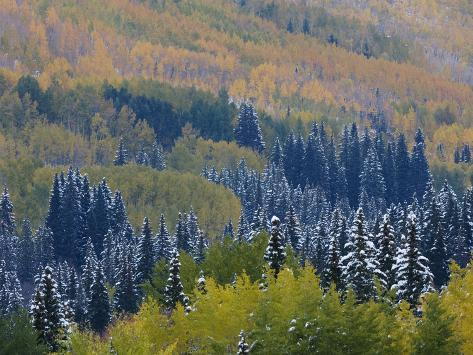Snow on Aspen Trees in Fall, Red Mountain Pass, Ouray, Rocky Mountains, Colorado, USA Photographic Print