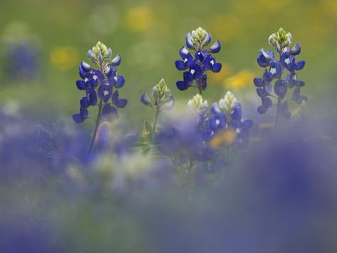 Wildflower Field with Texas Bluebonnet, Comal County, Hill Country, Texas, Usa, March 2007 Photographic Print