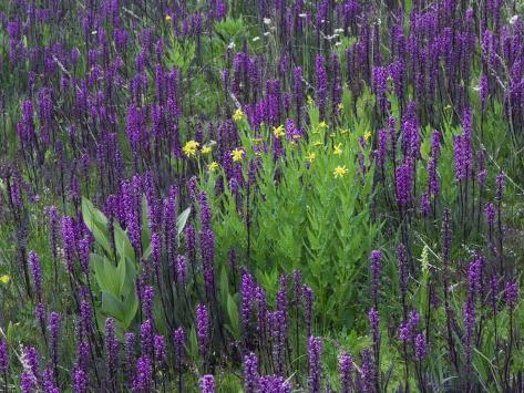 Wildflowers in Alpine Meadow, Ouray, San Juan Mountains, Rocky Mountains, Colorado, USA Photographic Print