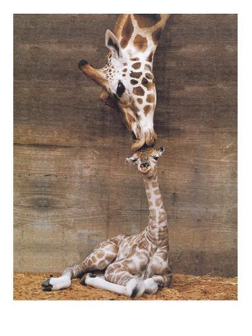 Giraffe, First Kiss Art Print