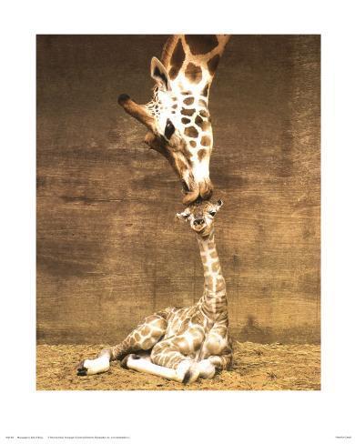 Giraffe, First Kiss Framed Art Print