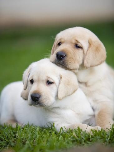 Yellow labrador retriever puppies Photographic Print