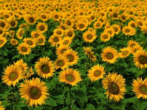 Field of Sunflowers Photographic Print