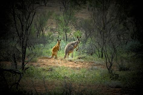 Australia New South Wales Broken Hill A Red And Grey Kangaroo Photographic Print By Rona Schwarz At Allposters