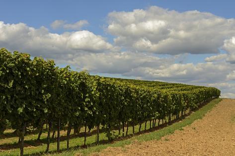 Wine Growing Valokuvavedos