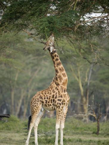 Rothschild Giraffe Feeding on Tree Leaves, Lake Nakuru National Park, Kenya Stretched Canvas Print