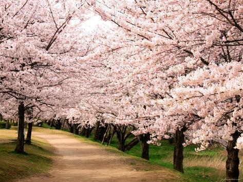 Row of Cherry Trees Photographic Print