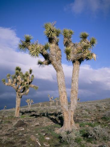 Joshua Trees Near Death Valley, Joshua Tree National Park, California, USA Photographic Print