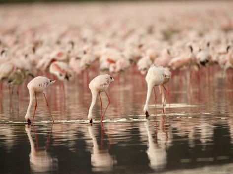 A Flock of Lesser Flamingos Feed in Lake Nakuru (Phoeniconaias Minor) Photographic Print