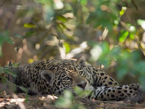 Jaguar, Panthera Onca, Resting in Shade Photographic Print