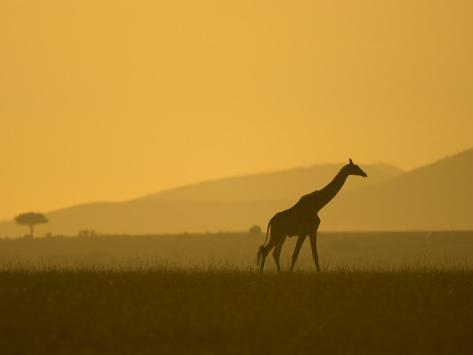 Masai Giraffe Walking at Sunset in Masai Mara. Giraffa Camelopardalis Photographic Print