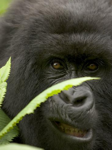 Mountain Gorilla (Gorilla Gorilla Berengei)Showing Teeth, with Leaves Photographic Print