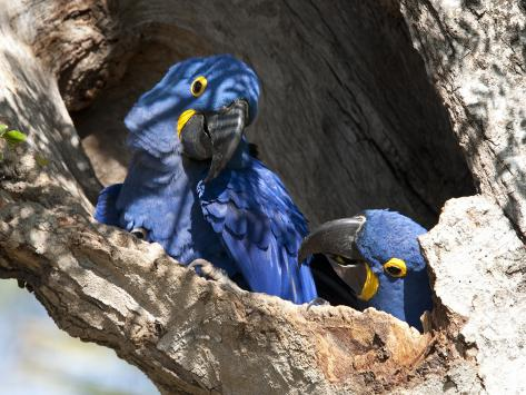 Pair of Hyacinthine Macaws, Anodorhynchus Hyacinthinus, in a Tree Photographic Print