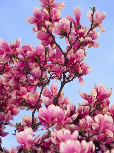 Magnolia Blossoms, Central Park, NY Photographic Print