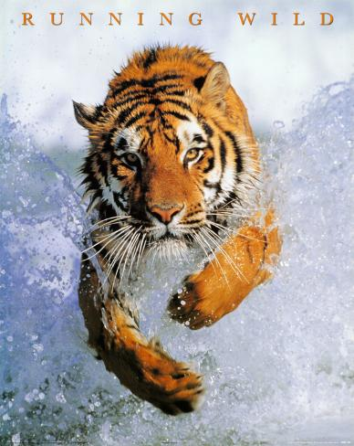 Running Wild (Tiger in Water) Art Poster Print Mini Poster