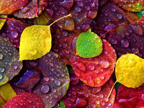 Multi-Colored Aspen Leaves with Rain Drop Photographic Print