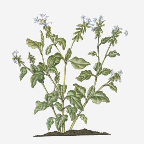 Illustration of plumbago zeylanica ceylon leadwort evergreen shrub illustration of plumbago zeylanica ceylon leadwort evergreen shrub with white flowers on long ste mightylinksfo