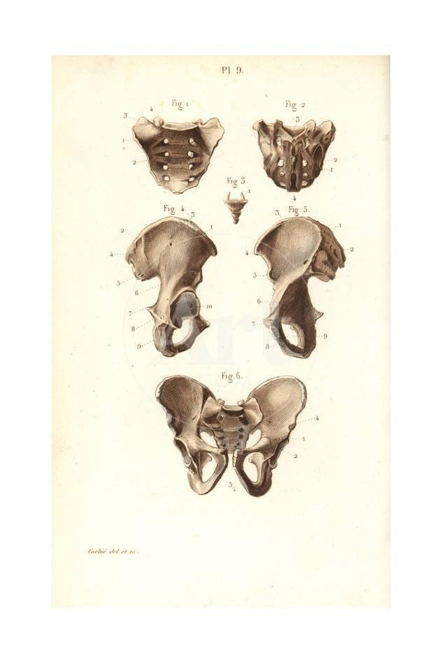 Sacrum Coccyx And Pelvis Bones Giclee Print At Allposters