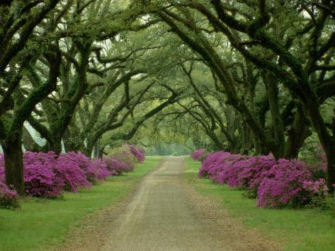 A Beautiful Driveway Lined with Trees and Purple Flowering Bushes Photographic Print