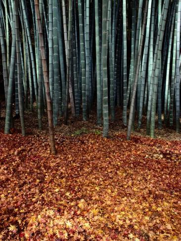 Autumn Leaves Litter the Ground Beneath Bamboo Shoots Photographic Print