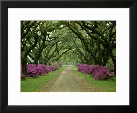 5a50c10dc Linda trilha com árvores e azaleias roxas Impressão fotográfica emoldurada