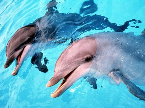 Samson the Bottlenose Dolphin Meets His New Mate at Whipsnade Zoo Photographic Print