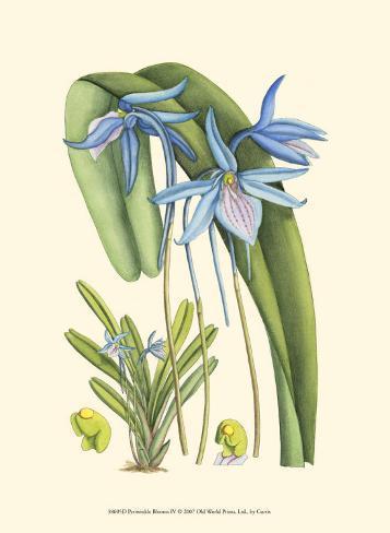Periwinkle Blooms IV Art Print