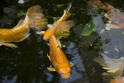New york city bronx zoo koi fish pond photographic print for Koi pond quezon city