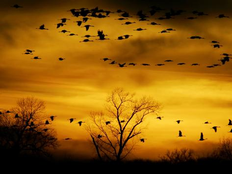 Sandhill Cranes are Silhouetted against a Fiery Sunset Photographic Print