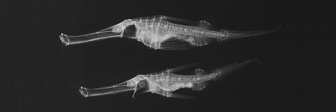 Ghost Pipefish Photographic Print